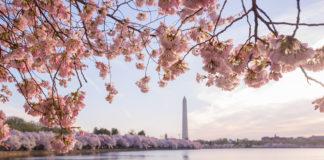washington dc cherry blossom photography