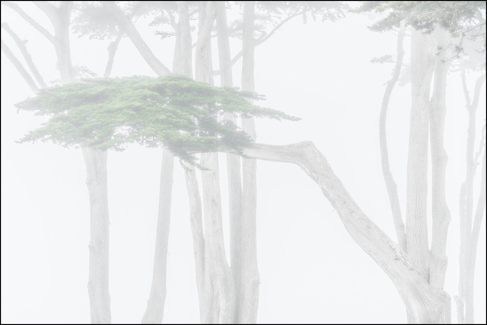 Cypress trees in fog, Monterey, California 2019 William Neill
