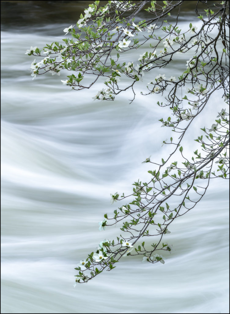 Dogwood along the Merced River, Yosemite National Park, California 2019